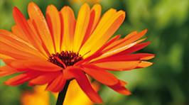 Unverzichtbar im Frühjahrstrainingslager: Schnell heilende Ringelblume